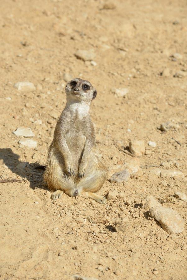 Meerkat in desert stock image