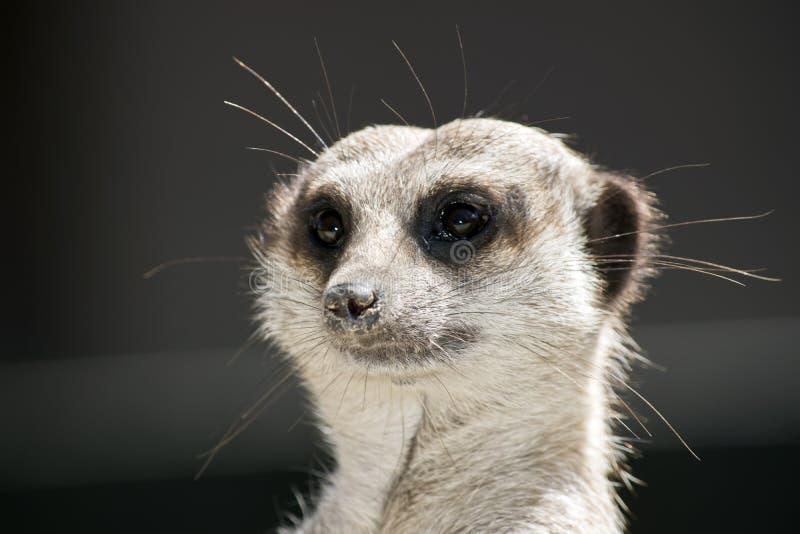 Meerkat dichte omhooggaand stock fotografie