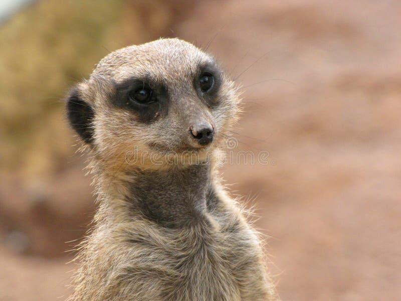 Meerkat dichte omhooggaand royalty-vrije stock fotografie