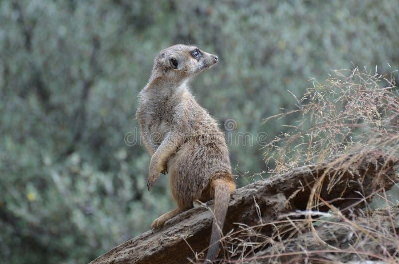 Meerkat die over Zijn Schouder kijken stock afbeeldingen