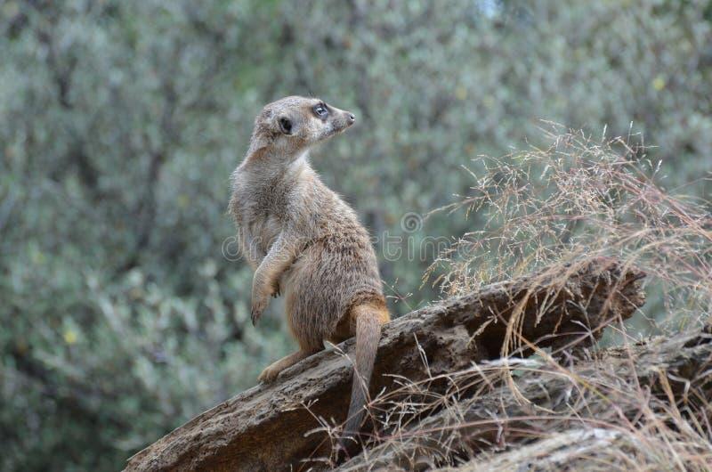 Meerkat die terug over zijn schouder kijken stock afbeelding