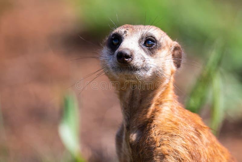 Meerkat die zich als vooruitzicht in zonlicht bevinden om familie van gevaar het naderbij komen te waarschuwen royalty-vrije stock foto's