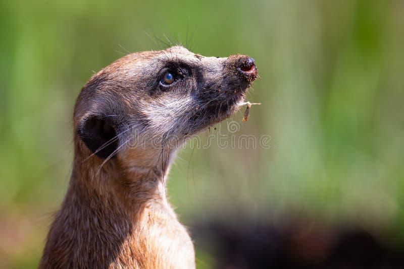 Meerkat die zich als vooruitzicht in zonlicht bevinden om familie van gevaar het naderbij komen te waarschuwen stock foto's