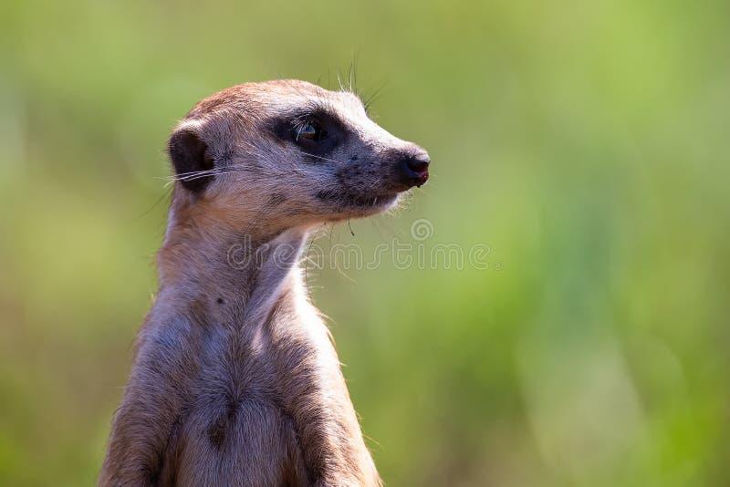 Meerkat die zich als vooruitzicht in zonlicht bevinden om familie van gevaar het naderbij komen te waarschuwen royalty-vrije stock afbeeldingen