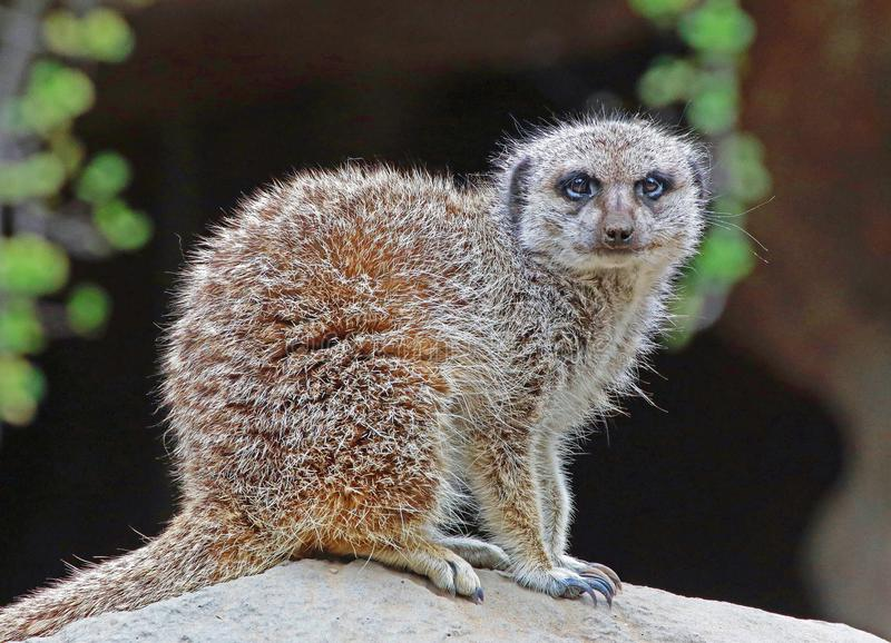 Meerkat die zich op rots bevinden stock foto