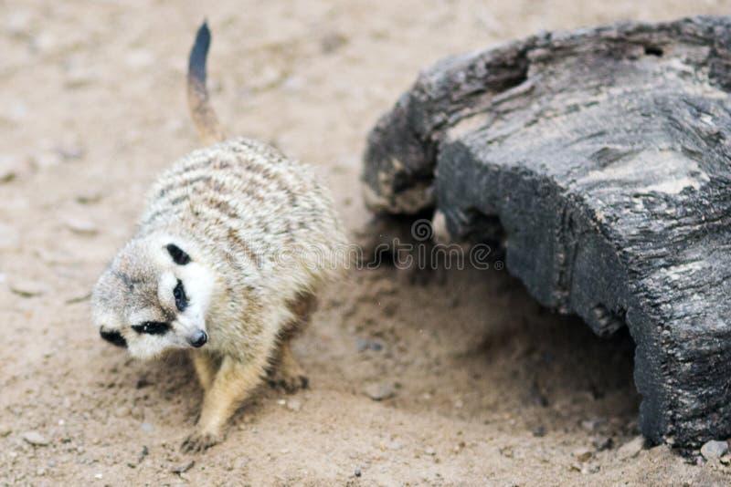 Meerkat or suricate royalty free stock photography