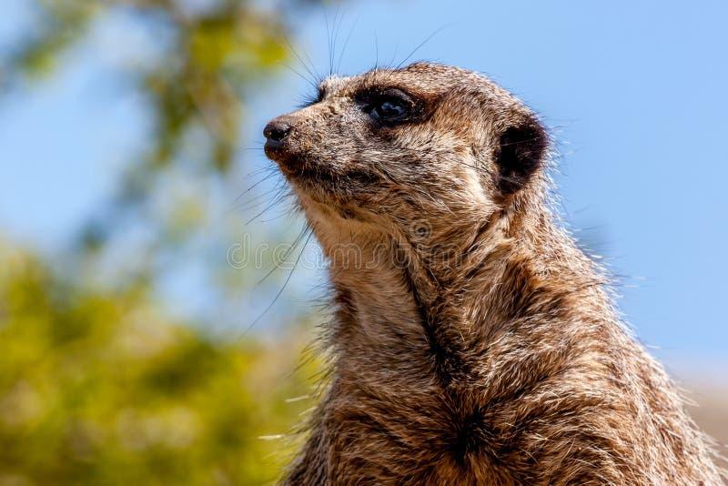 Meerkat dopatrywanie obraz royalty free