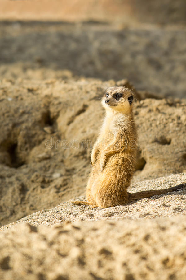 Meerkat eller Suricata royaltyfria bilder