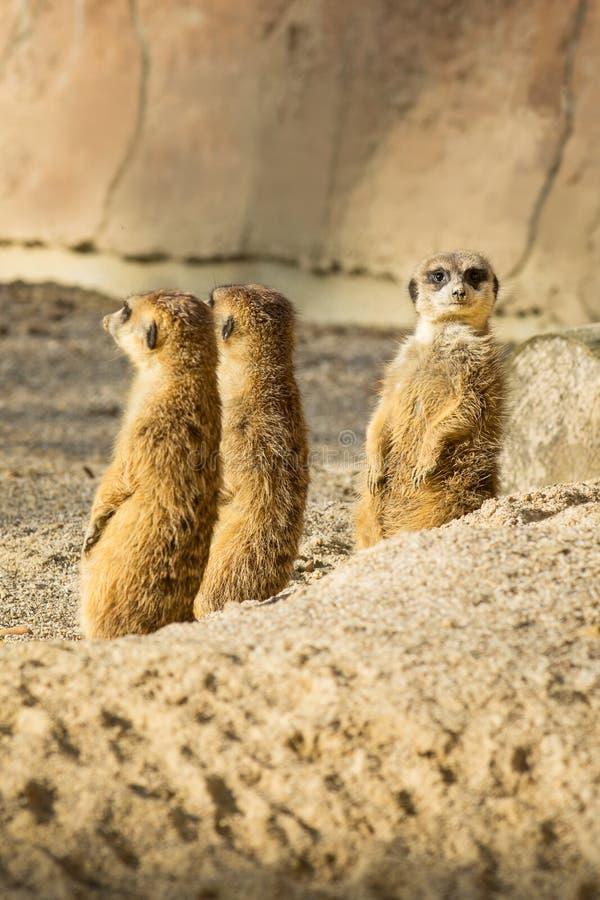 Meerkat eller Suricata arkivfoton