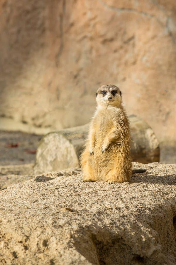 Meerkat eller Suricata royaltyfri bild