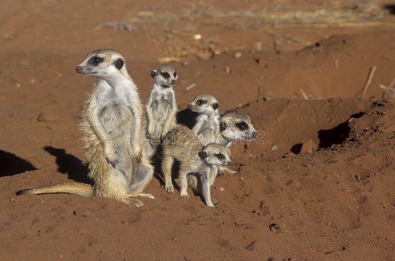 Meerkat eller suricate royaltyfri bild