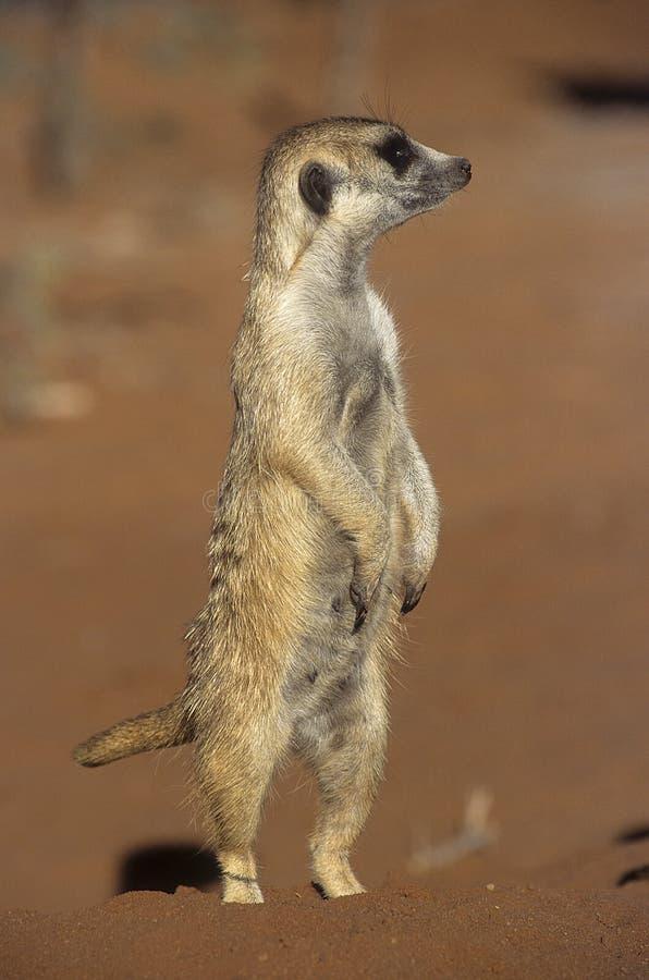 Meerkat eller suricate arkivfoton