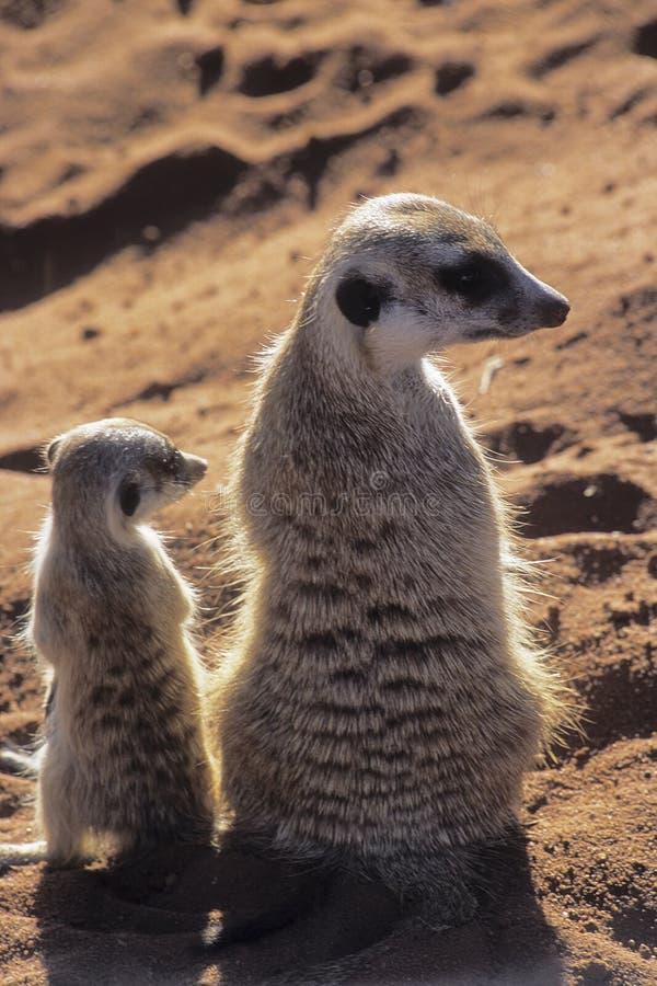 Meerkat eller suricate arkivfoto