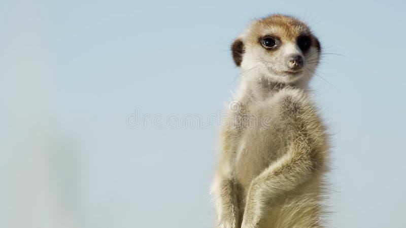 Meerkat en el suricate o el suricatta alerta en el puesto de observación, Kalahari, 2018 de //del guardia del Suricata del meerka imágenes de archivo libres de regalías