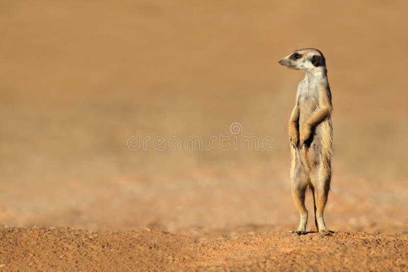 Meerkat en guardia fotografía de archivo libre de regalías