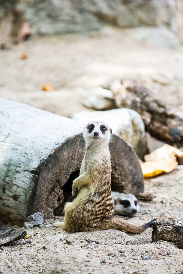 Meerkat en safari abierto fotos de archivo libres de regalías