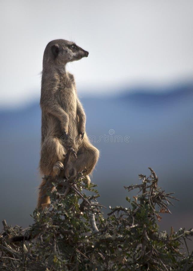 Meerkat en un árbol imagenes de archivo