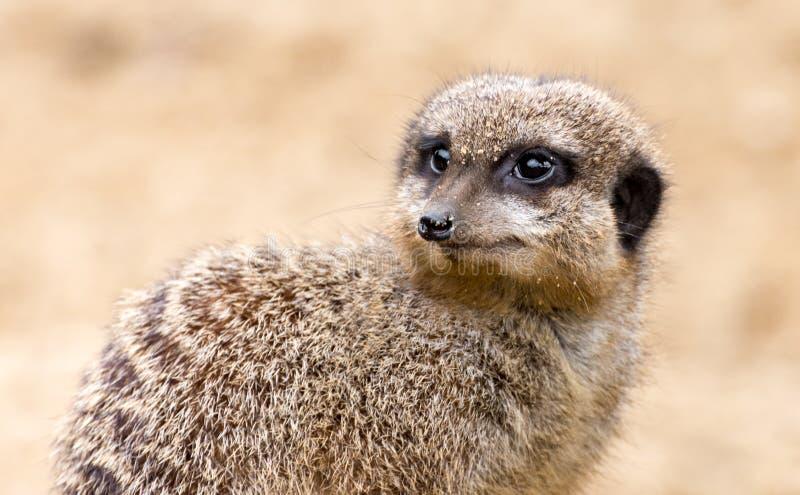 Meerkat en un fondo de la arena fotografía de archivo
