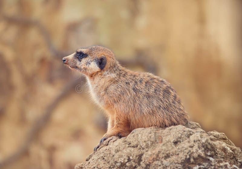 Meerkat en una roca fotos de archivo