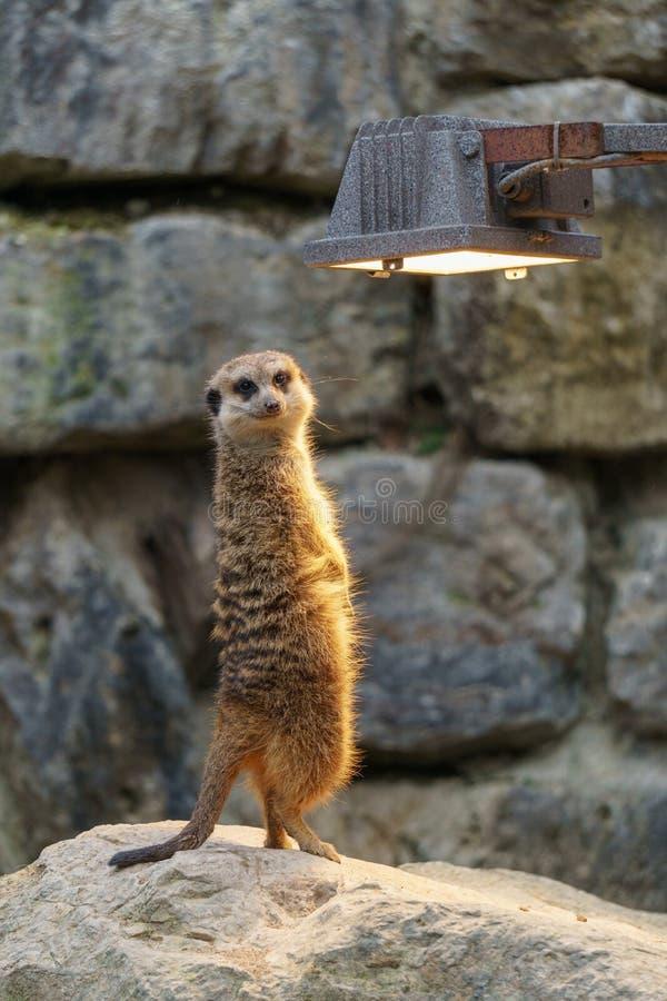 Meerkat enjoying the warm light stock photo