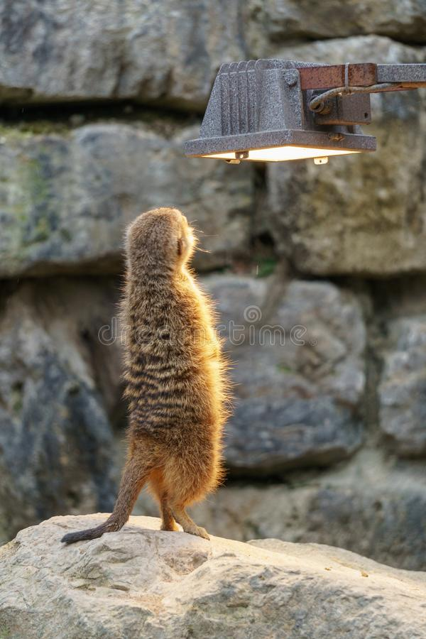 Meerkat enjoying the warm light royalty free stock image