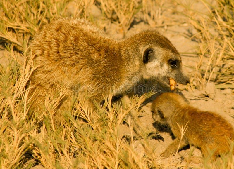 Meerkat et jeunes mangent des larves d'un beatle photos libres de droits
