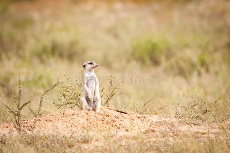 Meerkat exerçant la surveillance image libre de droits