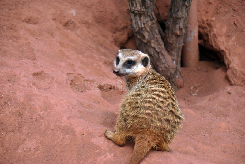Meerkat faisant une pause son creusement dans le sable à regarder autour photographie stock