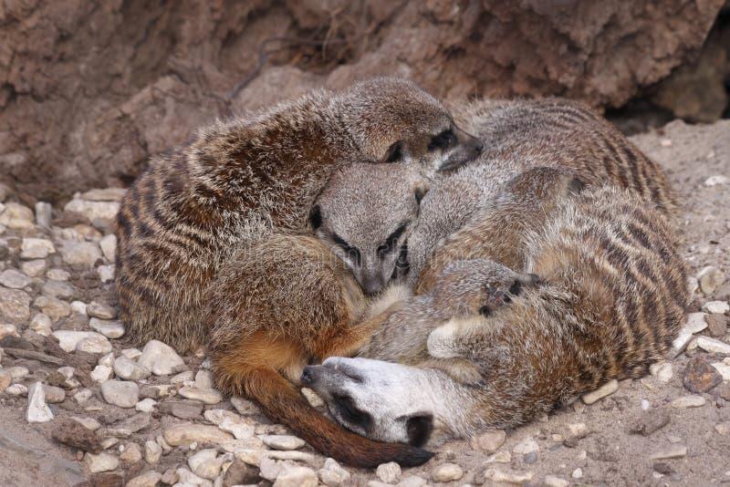 Meerkat Familie lizenzfreies stockfoto