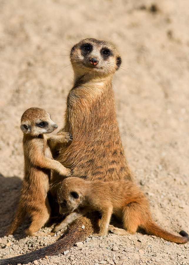 Free Meerkat Family Stock Image - 4483851