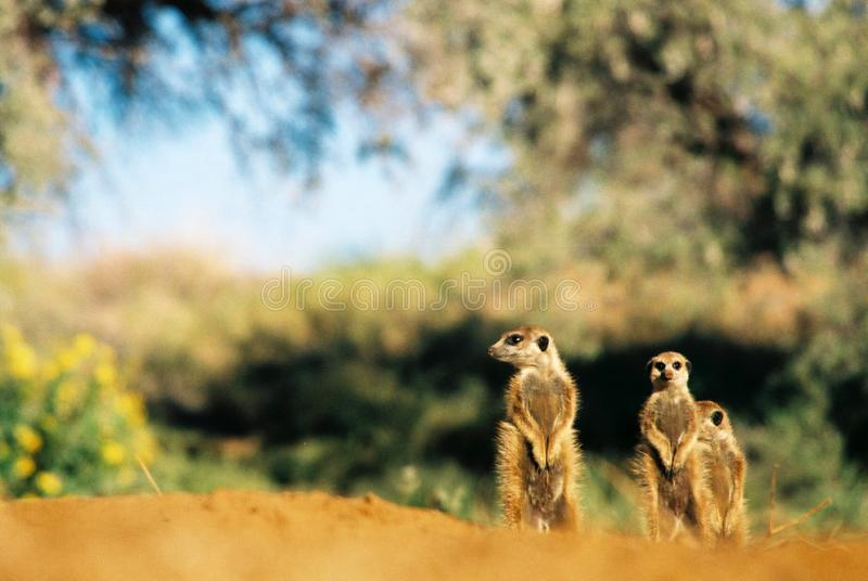Meerkat suricate family, Kalahari, South Africa sunbathing royalty free stock photography