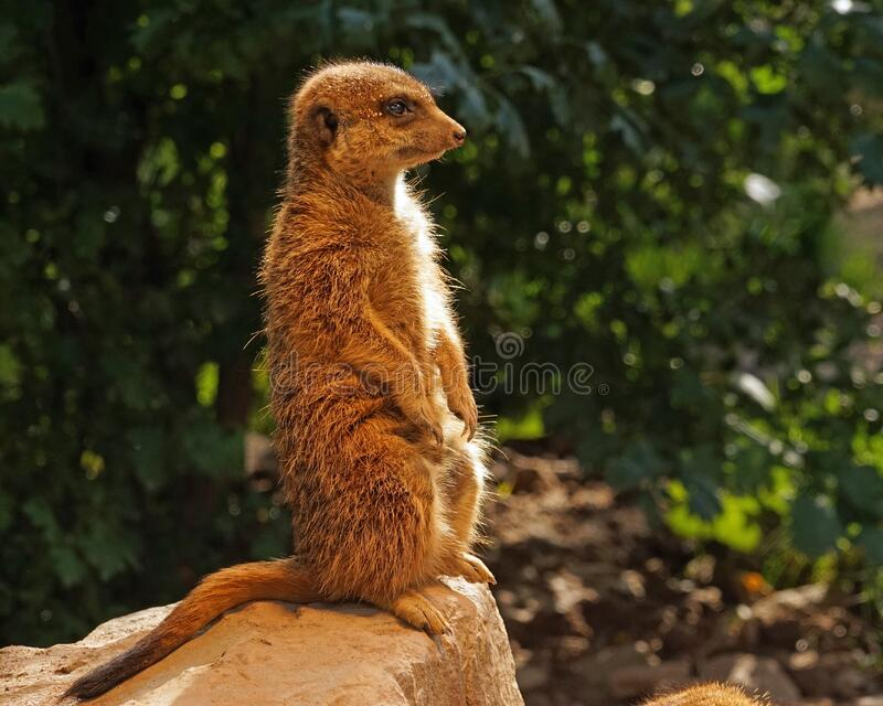 Meerkat, fauna, mamífero, animal terrestre imagem de stock royalty free
