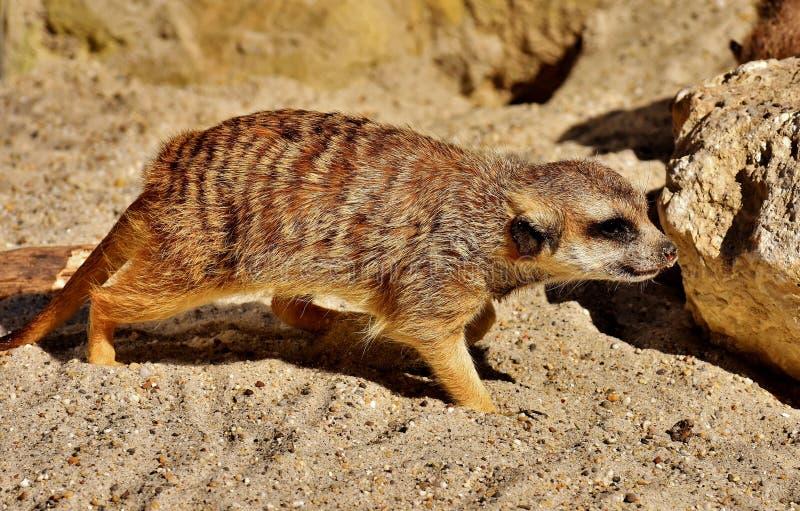 Meerkat, Fauna, Mammal, Terrestrial Animal stock image
