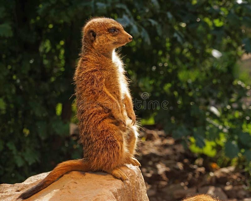 Meerkat, fauna, ssak, Ziemny zwierzę obraz royalty free