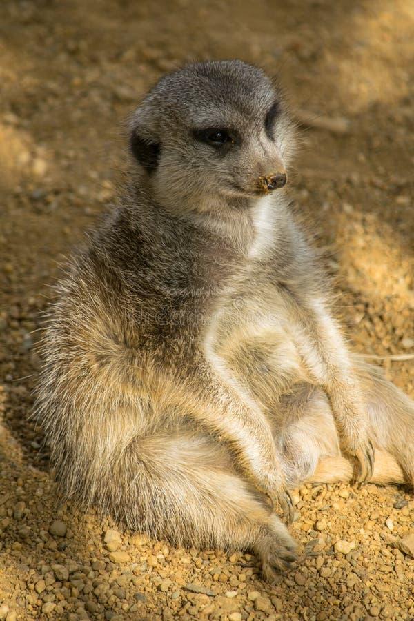 Meerkat gordo que relaxa como uma pessoa fotografia de stock