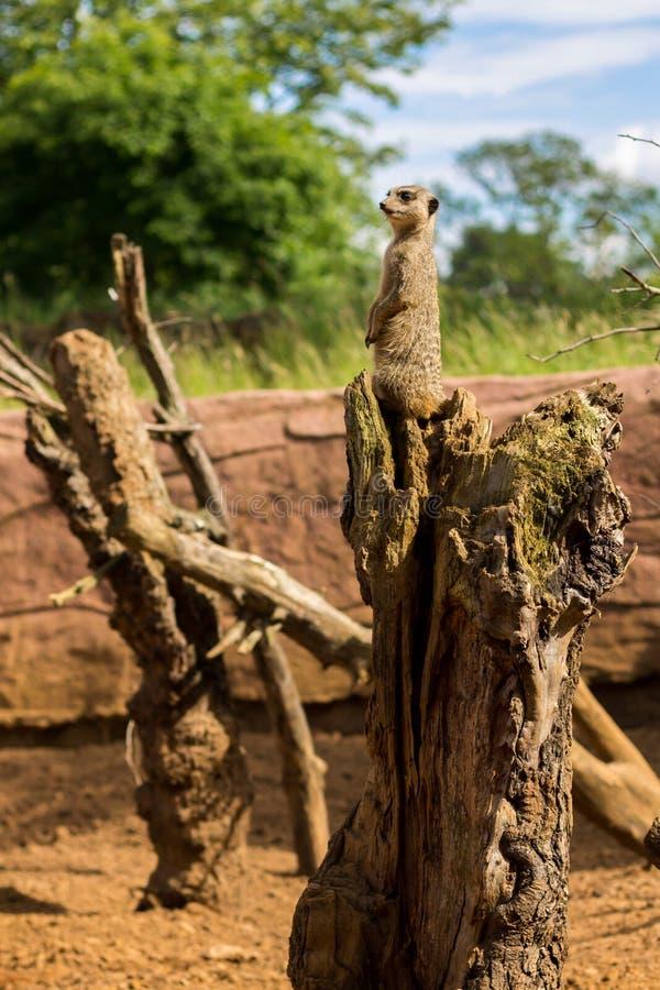 Download Meerkat Guard stock photo. Image of tree, brown, meerkat - 26802512