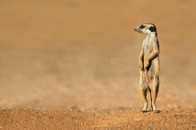 Download Meerkat on guard stock image. Image of small, snout, suricate - 39326387