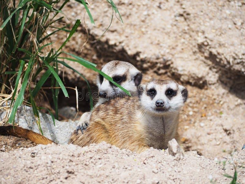 Meerkat het dierlijke rusten voor tunnel royalty-vrije stock foto's