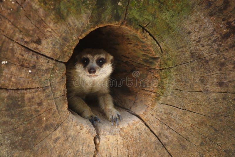 Download Meerkat 1 stock photo. Image of predator, creature, wildlife - 33206428