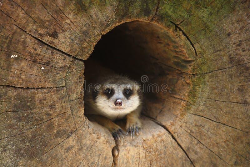 Download Meerkat 2 stock image. Image of nature, walk, crawl, life - 33206433