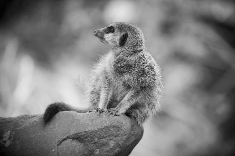 Meerkat II stock foto's