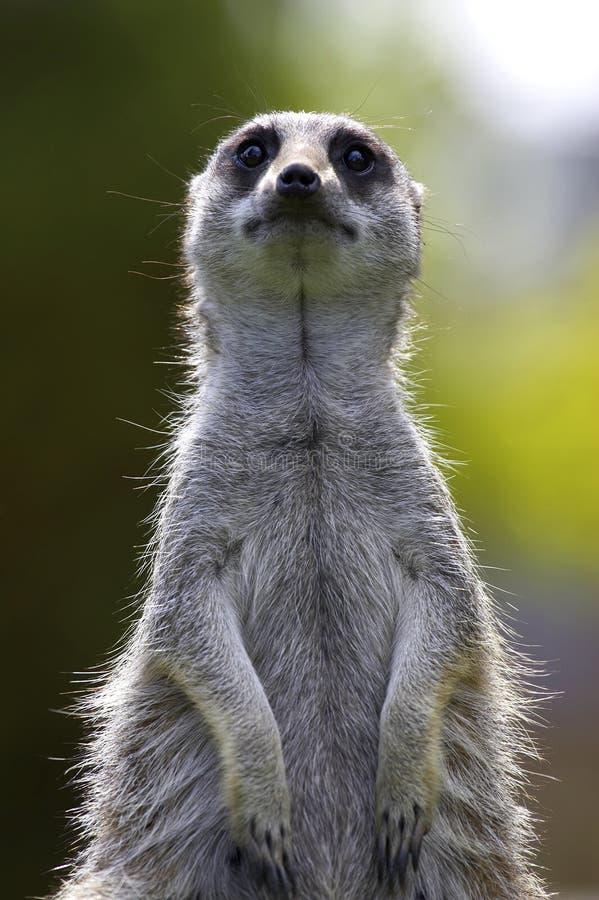 Meerkat im Dienst stockfotos