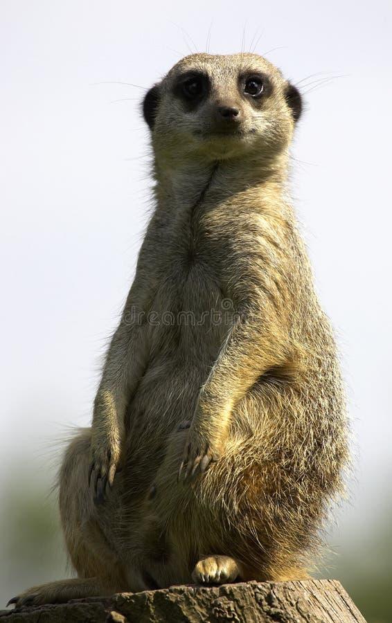 Meerkat im Dienst lizenzfreies stockfoto
