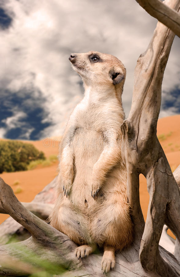 Free Meerkat In Deset Royalty Free Stock Photography - 13622957