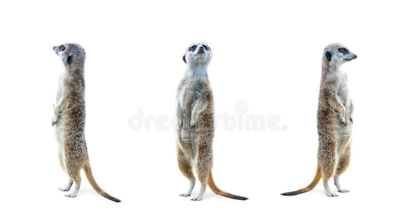 Meerkat Isolated Set. Portrait of a three meerkats standing and looking alert isolated on white background royalty free stock images