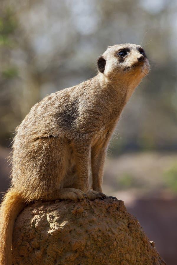Meerkat - Kalahari Desert - Botswana royalty free stock image