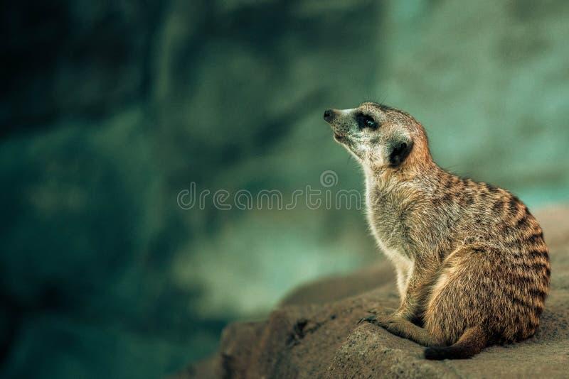 Meerkat Landsitz lizenzfreie stockbilder