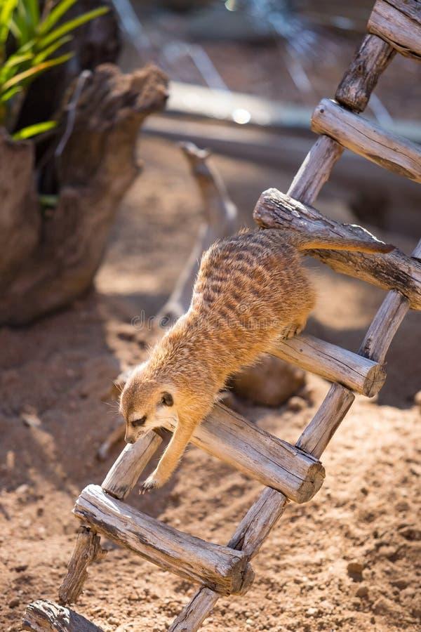 Meerkat leeglopende ladder in een bijlage stock fotografie
