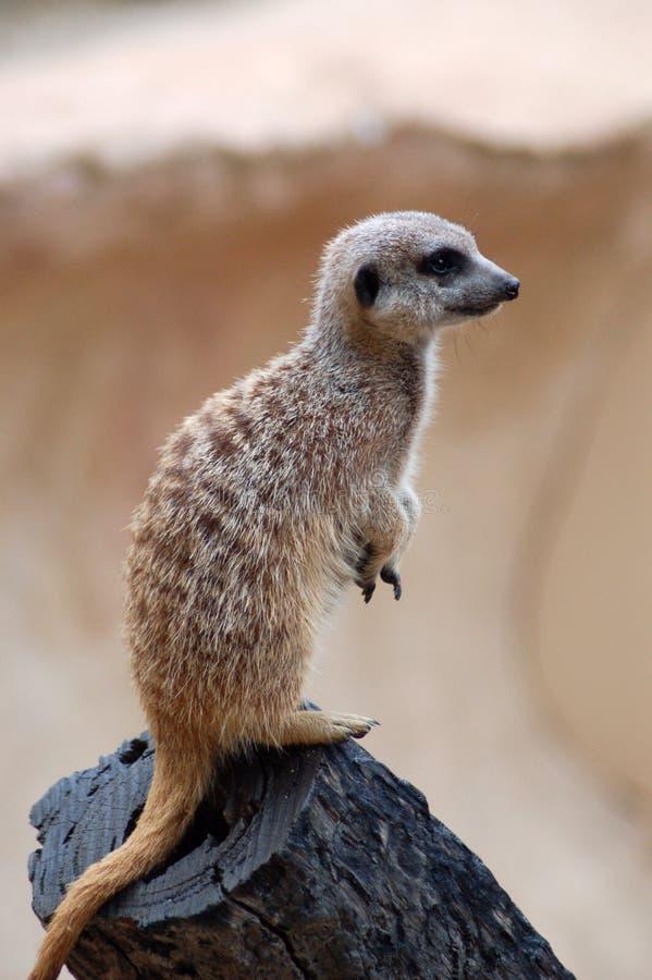 Meerkat levantesi in piedi fotografie stock