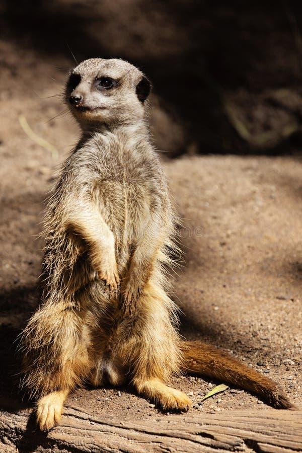 Meerkat logorato fotografia stock